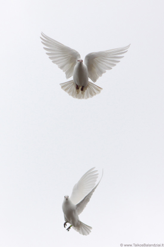 White pigeons in the sky